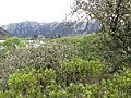 Hebe & thorny shrubs (6706390367).jpg