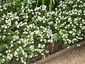 Hebe elliptica - Berlin Botanical Garden - IMG 8750.JPG