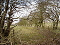 Hedge near Rhoslydan - geograph.org.uk - 138461.jpg