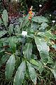 Hedychium horsfieldii - Botanischer Garten, Dresden, Germany - DSC08599.JPG
