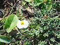 Helianthemum almeriense.jpg