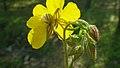 Helianthemum nummularium inflorescence (09).jpg