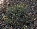 Helichrysum italicum subsp microphyllum g02.jpg