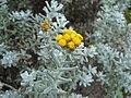 Helichrysum trilineatum.JPG