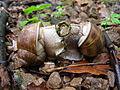 Helix pomatia mating.jpg
