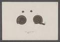 Helix ruderata - - Print - Iconographia Zoologica - Special Collections University of Amsterdam - UBAINV0274 089 01 0044.tif