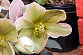 Helleborus x nigersmithii Ivory Prince 1zz.jpg