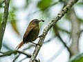 Hellmayrea gularis - White-browed Spinetail - Ecuador.jpg