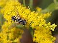 Helophilus trivittatus (Syrphidae) ♀ - Große Sumpfschwebfliege (9628381743).jpg
