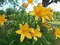 Hemerocallis dumortieri 2016-06-04 2416.jpg