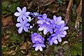 Hepatica nobilis 03.jpg