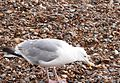 Herring Gull 005.JPG
