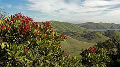 Heteromeles arbutifolia 02.jpg