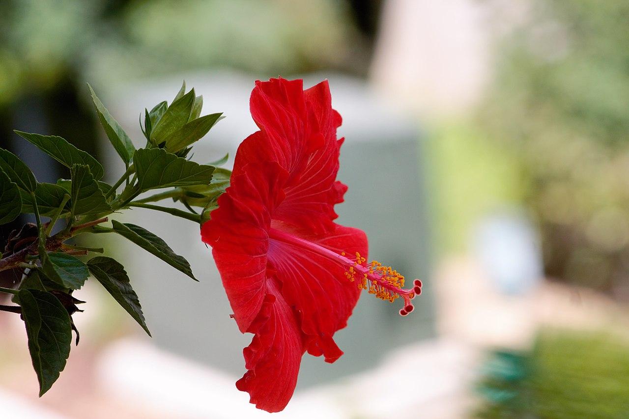 Hibiscus rosa sinensis wikiwand izmirmasajfo
