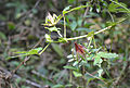 Hibiscus surattensis plant 03.jpg