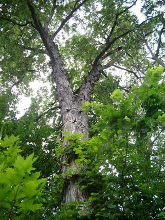 Carya ovata - Image: Hickory 07103