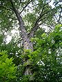Hickory07103.jpg