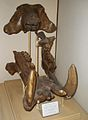 Hippopotamus antiquus.JPG