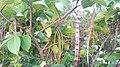 Holarrhena pubescens fruits and leaves.jpg