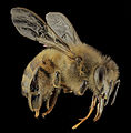 Honey bee, f, side, DC 2014-04-24-21.15.03 ZS PMax (14189134372).jpg