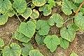 Horngurke - Kiwano - Cucumis metuliferus im Folienhaus, kletternd 07 ies.jpg