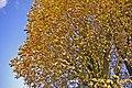 Horse Chestnut, Merrivale, London N14 - geograph.org.uk - 1024919.jpg