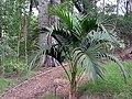 Howea belmoreana in Auckland Regional botanic garden.jpg