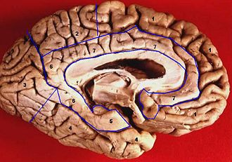 Limbic lobe - Inferomedial view of the left cerebral hemisphere showing the limbic lobe in  areas 5-7.
