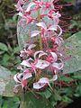 Humboldtia brunonis flowers at Kunnathurpadi (4).jpg