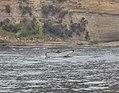 Humpback whale migrating.jpg
