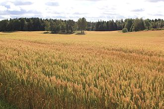 Akershus - Akershus wheatfield in September 2012