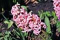 Hyacinthus orientalis-001.jpg