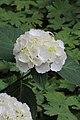 Hydrangea macrophylla (Hortensia).JPG