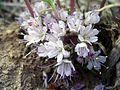 Hydrophyllumcapitatum.JPG