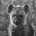 Hyena (197656085).jpeg