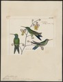 Hylocharis haeberlini - 1820-1860 - Print - Iconographia Zoologica - Special Collections University of Amsterdam - UBA01 IZ19100503.tif