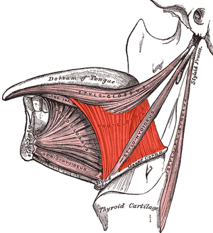 Hyoglossus - Extrinsic muscles of the tongue. Left side. (Hyoglossus visible at center.)