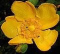 Hypericum moserianum 2015-07-15 4405b.JPG