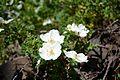 I fiori di rosa canina.jpg