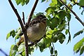 Icterus galbula -Baltimore, Maryland, USA -juvenile-8 (1).jpg