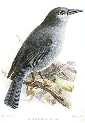 Short-tailed finch - Image: Idiopsar Brachyurus Keulemans