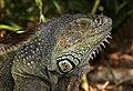 Iguana iguana male head.jpg