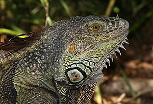 Texture (visual arts) - Image: Iguana iguana male head