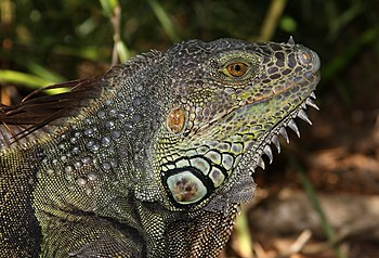 English: Adult male iguana (Iguana iguana) in ...