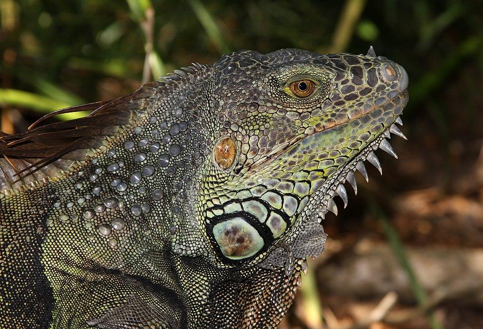 Iguana iguana male head