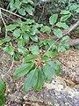 Ilex pedunculosa - Miyajima Natural Botanical Garden - DSC02376.JPG
