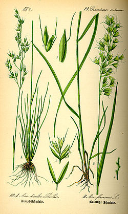 Illustration Aira flavescens0.jpg