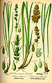 Illustration Carex vulpina0.jpg