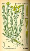 Illustration Helichrysum arenarium0