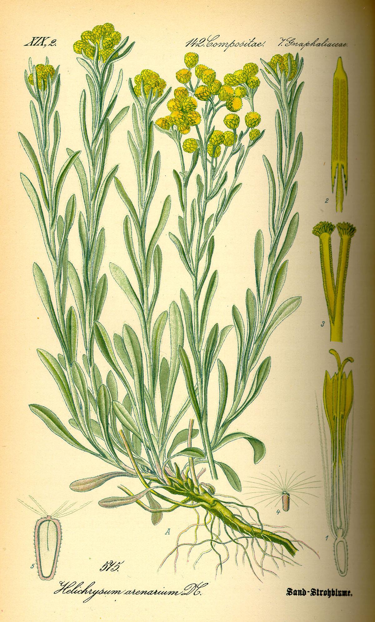 Helichrysum Arenarium Wikispecies